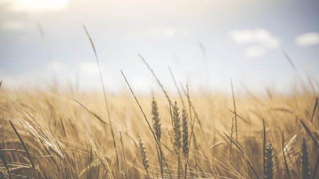 Harvest-Sabbath